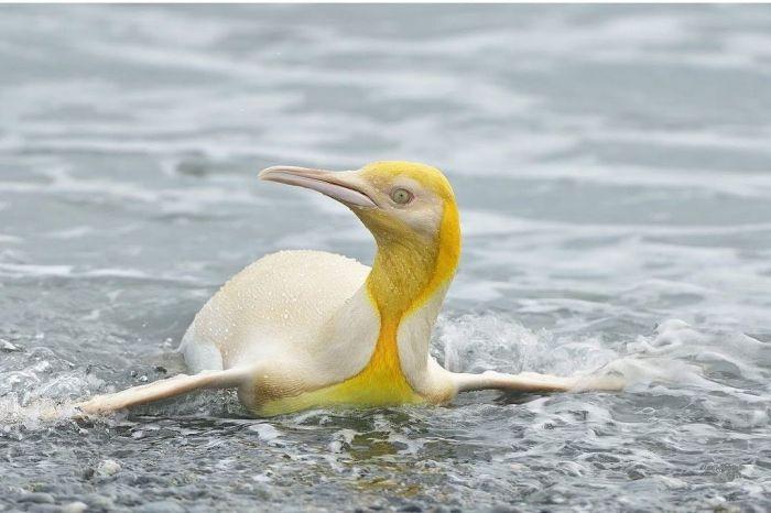 Pinguim amarelo foi visto em ilha do Atlântico Sul - (Foto: Reprodução/Instagram Yve Adams)