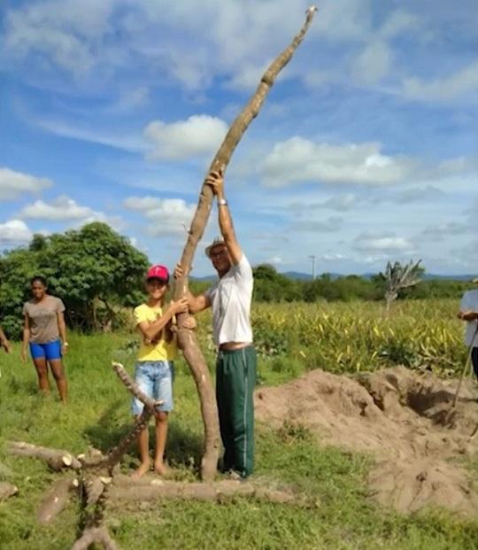 Agricultores colhem mandioca 'gigante' de cerca de 5 metros de comprimento e 20 kg na Bahia   Foto: Reprodução/Bahia Rural